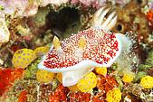 20080425Moalboal - 20080502:紅糟海蛞蝓與可愛黃海鞘