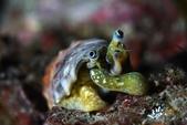 20180707-08_東北角 Northeast Coast,Taiwan (上):象鼻螺-超有喜感很有戲的生物,笑翻.真的像象鼻一樣靈活地在覓食與活動著