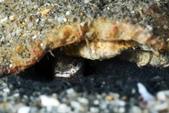 20180714-15_東北角 Northeast Coast,Taiwan (下):下巴''厚斗''的害羞小魚,可能是種天竺鯛,發現被注意,會吐黑沙當煙霧彈