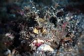 20191208-09_小琉球 Siaoliouciou,Taiwan:Devil Scorpionfish (其實我在國內並不常見到牠)