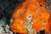960617-960619Anilao:顏色很美的石頭魚