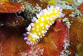 20080608東北角:阿娟首見-粉嫩嬰兒系列海蛞蝓,真素可愛