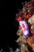 20170406-07 Ambon Diving 安汶潛水趣( The End):耳朵真長