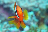 20080406-08小琉球:小丑魚小朋友