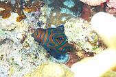 "20080425Moalboal - 20080502:第一次看到麒麟魚,但實在太""秘秘邱邱"",只拍到背影"
