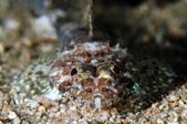 20170610-0611_低能見度的東北角(下) Northeast Coast,Taiwan:Crocodile fish baby