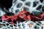 20170610-0611_低能見度的東北角(下) Northeast Coast,Taiwan:在海裏我本來以為是把常見海藻貼滿全身的偽裝蟹,沒想到牠天生就這個怪樣~不可思議