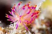 20200606-0607 東北角 Northeast Coast,Taiwan:Unidentia sp. 怎麼拍怎麼美