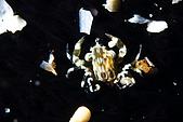 20080608東北角:海參上的青蛙蟹