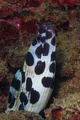 20090726東北角:一隻偽裝成筍鰻的鰻魚