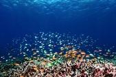 20180405_Amed_Bali 巴里島Amed潛水 Part 4:不同顏色的金花鱸混游,變化繽紛,讓人看傻了