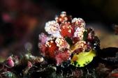 20170513-0514_東北角 Northeast Coast,Taiwan:金沙灣好像比較容易見到這種偽珊瑚Nu,第一次看到牠的''內在美'',顏色真漂亮