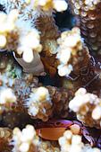 20080406-08小琉球:三合一系列,就是這隻白胖蝦啦,右邊還有幾近透明的小隻版,下面有螃蟹