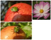 20131130-31苗栗苑裡公館 Miaoli,Taiwan:超級可愛的昆蟲(椿象)在活的石榴上頭