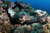 20170225-28 小琉球解潛水癮(下) Siaoliouciou,Taiwan:這位不是小秋,是另一位海龜朋友,這個平臺常有3隻海龜在此休息睡覺
