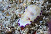 20080406-08小琉球:小白兔海蛞蝓,裙邊圖案很漂亮