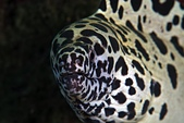 20210101-0103_小琉球 Siaoliouciou,Taiwan:肥滋滋啊~~國內真的很難看到大型鰻,想到這點真令人傷心