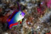 2017過年墾丁遊(下) Kenting,Taiwan:像彩虹一樣的魚,照片看起來真是美極,但肉眼看其實滿暗沉的,照片美10倍啊~