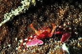 20170405 Ambon Diving 安汶潛水趣:今晚令我驚奇的生物之一:首見的漂亮螃蟹,張網補食中