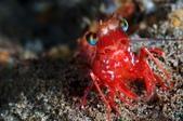 20171004-1011_Anilao Part III:彈珠蝦,有七彩的雙眼