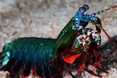20171004-1011_Anilao Part I:20171005 1st  Betlehem- Mantis shrimp,眼睛好像被打馬賽克,哈~