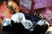 20180728-29_東北角 Northeast Coast,Taiwan (上):哇~好難得看到黑色款星珊瑚Nu,可惜牠們卡在牆跟星珊瑚中間,拍不到...