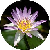 神奇吸水杯墊-圖樣:蓮花-1.jpg