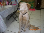 第一名犬--邊境牧羊犬:2013年01月29日CIMG0003.JPG
