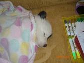 第一名犬--邊境牧羊犬:2013年01月29日IMG0001.JPG