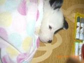 第一名犬--邊境牧羊犬:2013年01月29日IMG0002.JPG