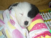 第一名犬--邊境牧羊犬:2013年01月29日IMG0003.JPG