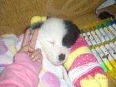 第一名犬--邊境牧羊犬:2013年01月29日IMG0004.JPG