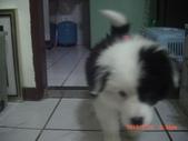 第一名犬--邊境牧羊犬:2013年2月10日CIMG0033.JPG
