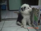 第一名犬--邊境牧羊犬:2013年2月10日CIMG0035.JPG