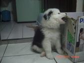 第一名犬--邊境牧羊犬:2013年2月10日CIMG0036.JPG