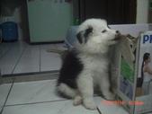 第一名犬--邊境牧羊犬:2013年2月10日CIMG0037.JPG