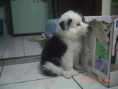 第一名犬--邊境牧羊犬:2013年2月10日CIMG0039.JPG