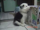 第一名犬--邊境牧羊犬:2013年2月10日CIMG0040.JPG