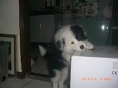 第一名犬--邊境牧羊犬:2013年02月04日CIMG0001.JPG