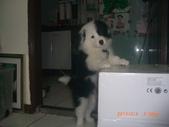 第一名犬--邊境牧羊犬:2013年02月04日CIMG0002.JPG