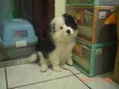 第一名犬--邊境牧羊犬:2013年2月10日CIMG0043.JPG