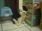 第一名犬--邊境牧羊犬:2013年2月10日CIMG0044.JPG
