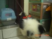 第一名犬--邊境牧羊犬:2013年2月10日CIMG0045.JPG