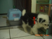 第一名犬--邊境牧羊犬:2013年2月10日CIMG0047.JPG