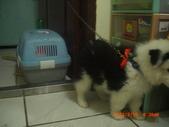 第一名犬--邊境牧羊犬:2013年2月10日CIMG0048.JPG