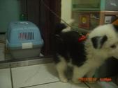 第一名犬--邊境牧羊犬:2013年2月10日CIMG0049.JPG