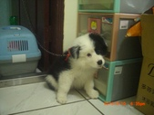 第一名犬--邊境牧羊犬:2013年2月10日CIMG0050.JPG