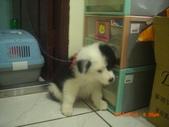第一名犬--邊境牧羊犬:2013年2月10日CIMG0051.JPG