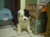第一名犬--邊境牧羊犬:2013年2月10日CIMG0052.JPG