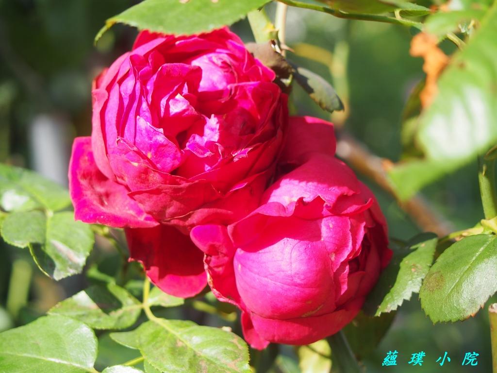 玫瑰薔薇:PB140677.jpg